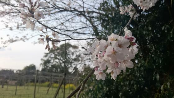 巨峰園と桜
