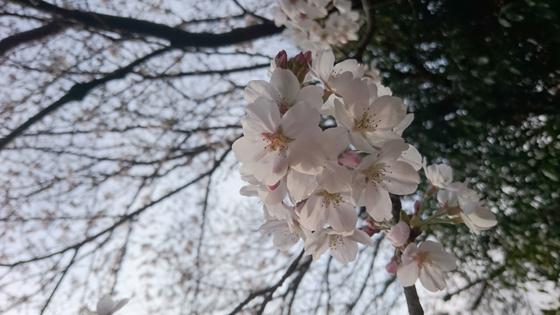 桜アップ16'