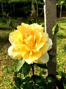 巨峰ワインの葡萄畑では 奇麗なバラが咲き始めました。